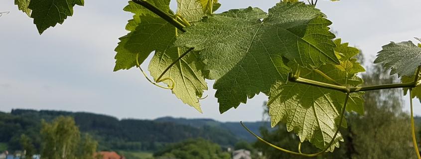 Weinranken Werdohl Sommerferien